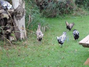 jonge kippen op verkenning