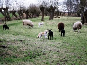 hond Truffel maakt kennis met lammetje van 3 weken